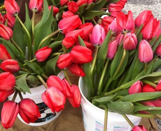 Beautiful spring tulips at the market.